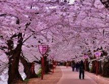 أفضل الأماكن لمشاهدة أزهار الربيع باليابان